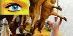 Des caméras dans les abattoirs ou la téléréalité pour les bêtes